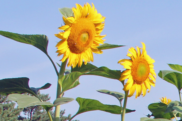 The gardens don't just house veggies. These giant sunflowers tower over the plots.