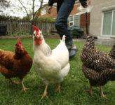 Leawood backyard chickens