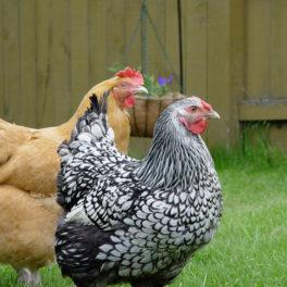 Overland Park backyard chickens