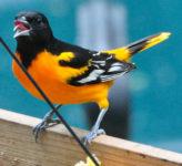 Johnson County birds