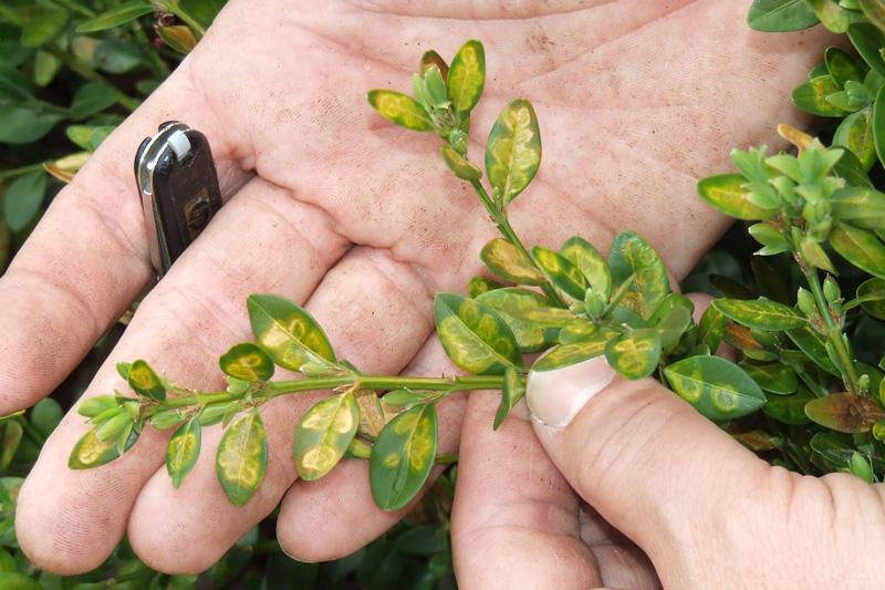 Boxwood leafminers