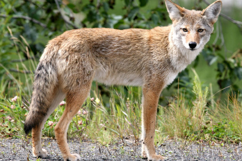 Johnson County coyotes
