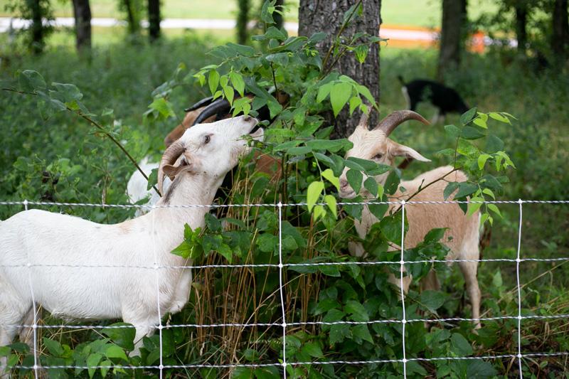 Lenexa goats